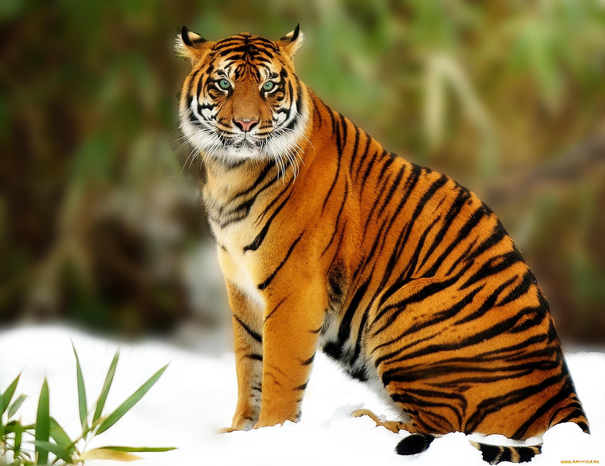 Картинки оранжевого тигра